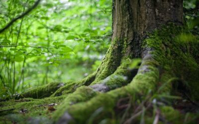 Lush green forest with closeup of a tree's roots covered in moss